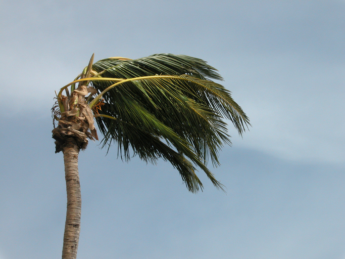 Palm tree blowing in wind